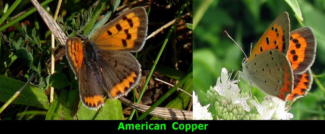 American Copper
