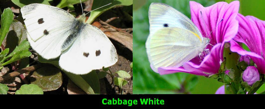 Cabbage White 2