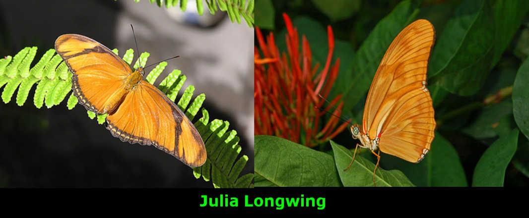 Julia Longwing