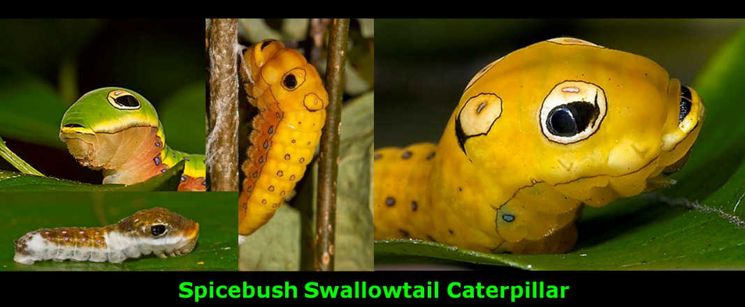 Spicebrush Swallowtail Caterpillar