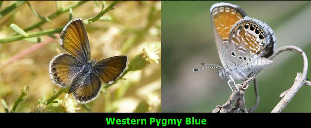 Westen Pygmy Blue
